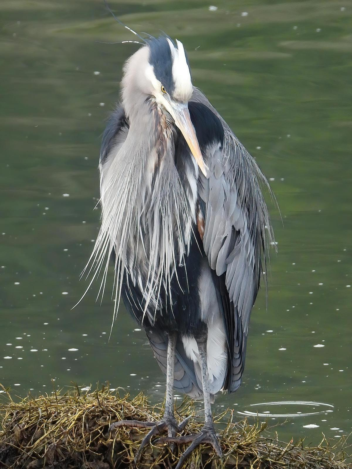Great Blue Heron (Blue form) Photo by Dan Tallman