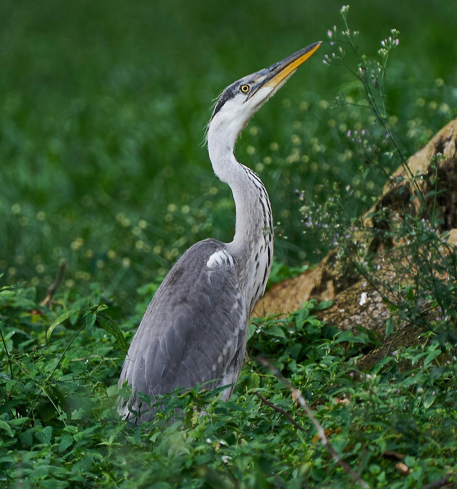 Gray Heron Photo by Steven Cheong
