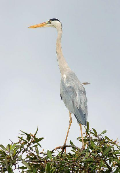 Gray Heron Photo by Kenneth Cheong