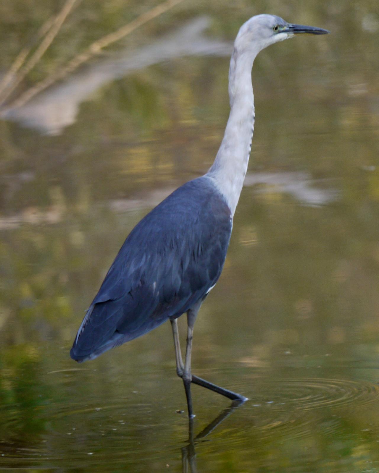 Pacific Heron Photo by Peter Lowe
