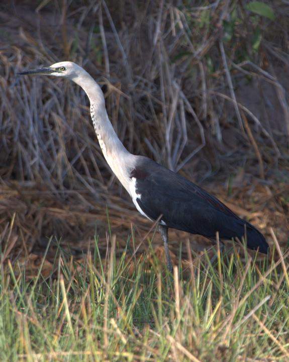Pacific Heron Photo by Mat Gilfedder