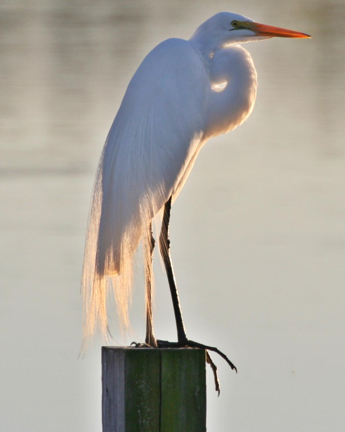 Great Egret Photo by Andrew Theus
