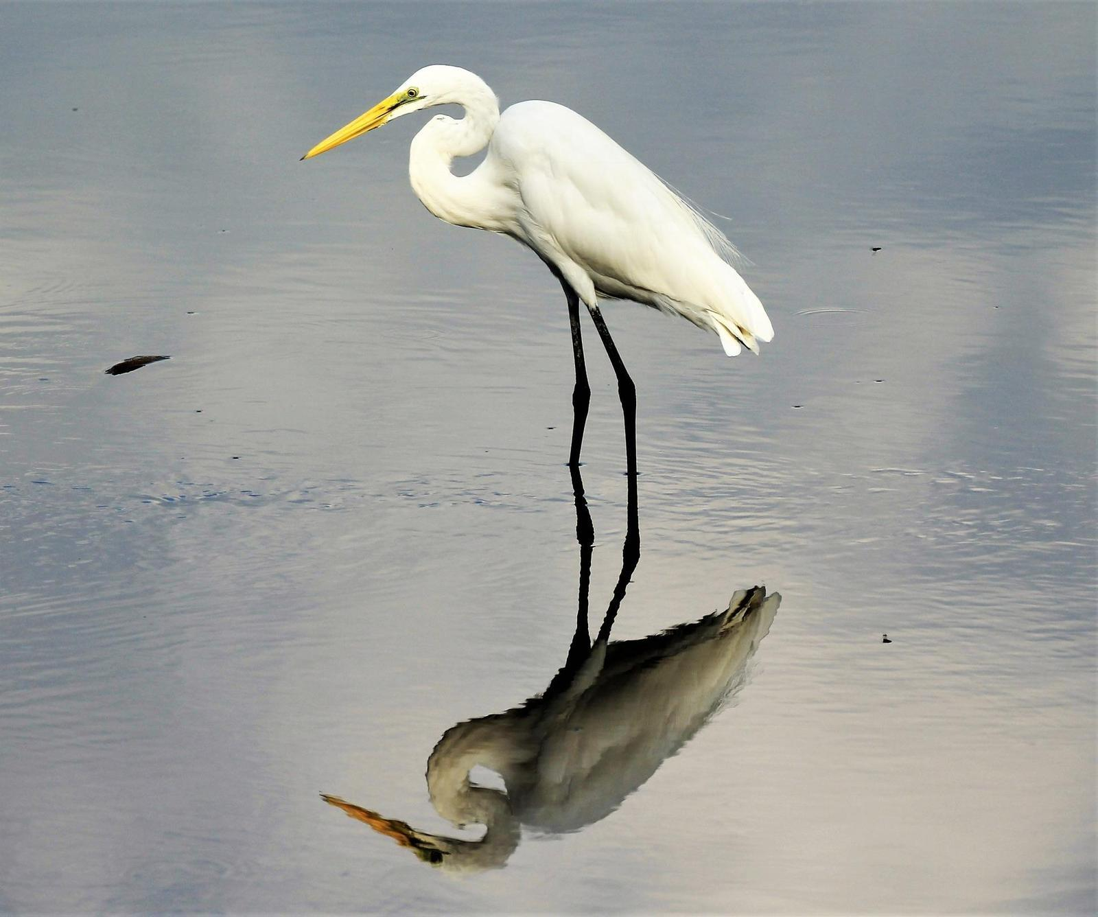 Great Egret Photo by Steven Cheong