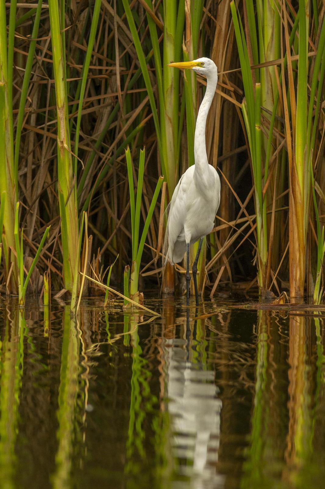 Great Egret Photo by David Rebata