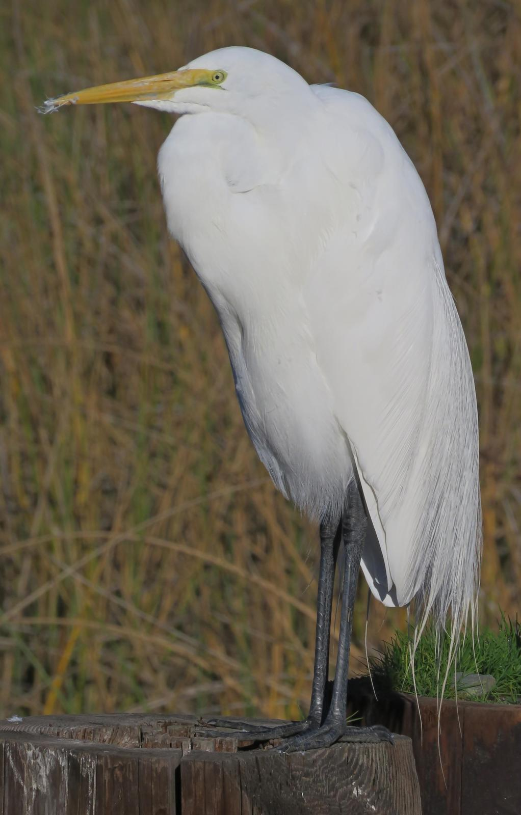 Great Egret Photo by Bob Neugebauer