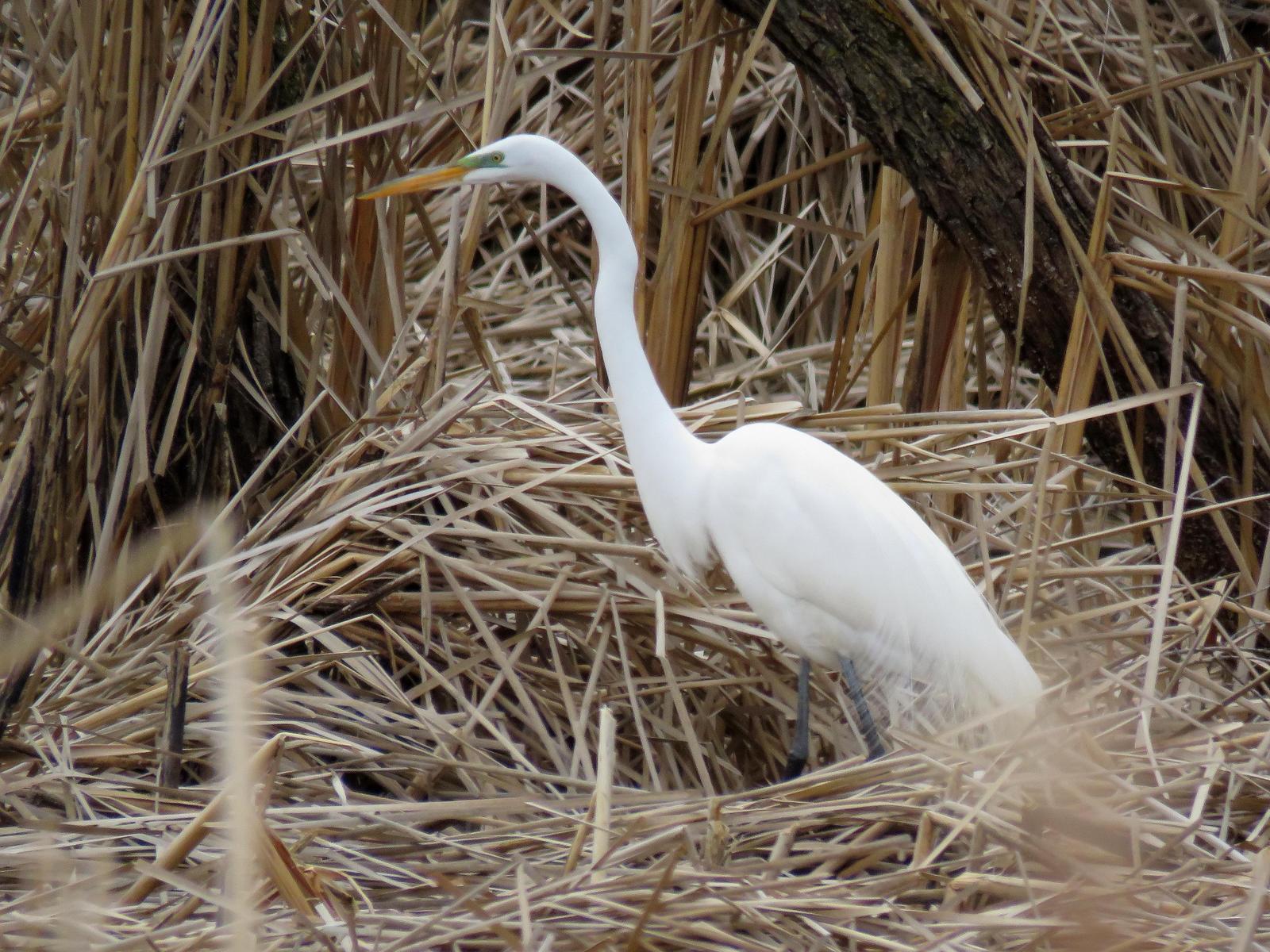 Great Egret Photo by Kent Jensen