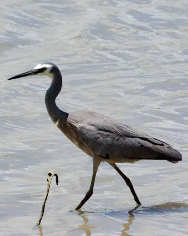 White-faced Heron Photo by Bob Hasenick