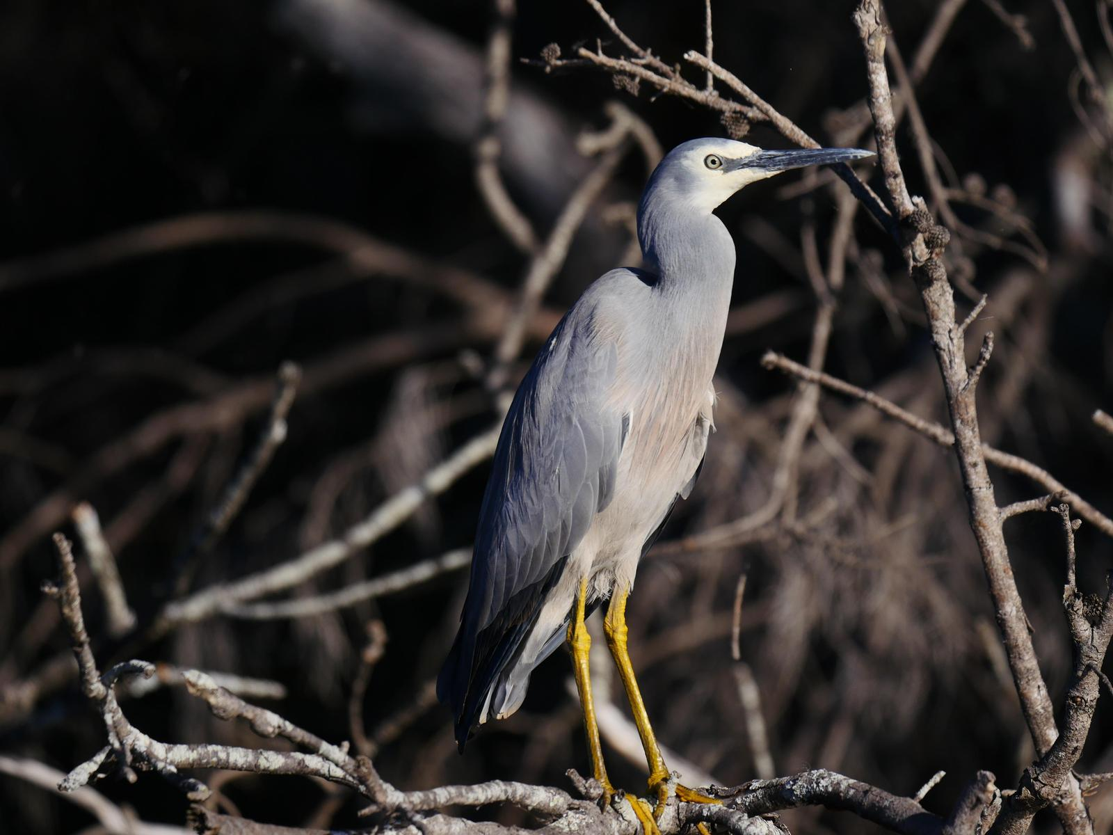 White-faced Heron Photo by Peter Lowe