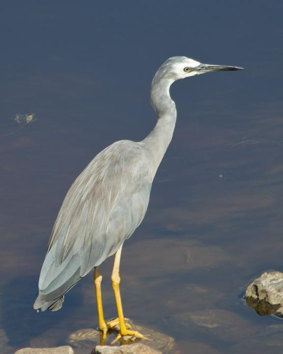 White-faced Heron Photo by Mat Gilfedder