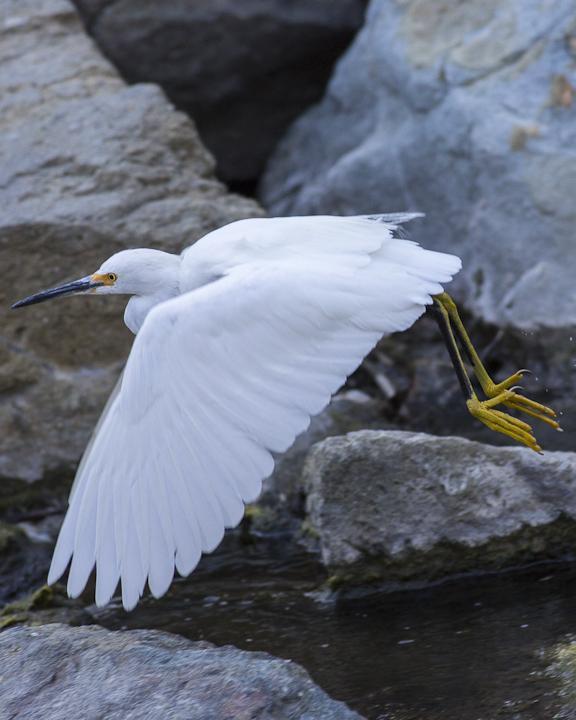 Snowy Egret Photo by Anthony Gliozzo