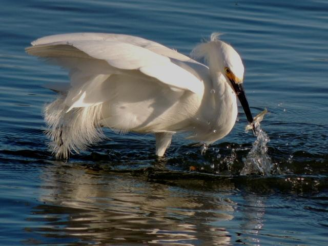 Snowy Egret Photo by Tony Heindel
