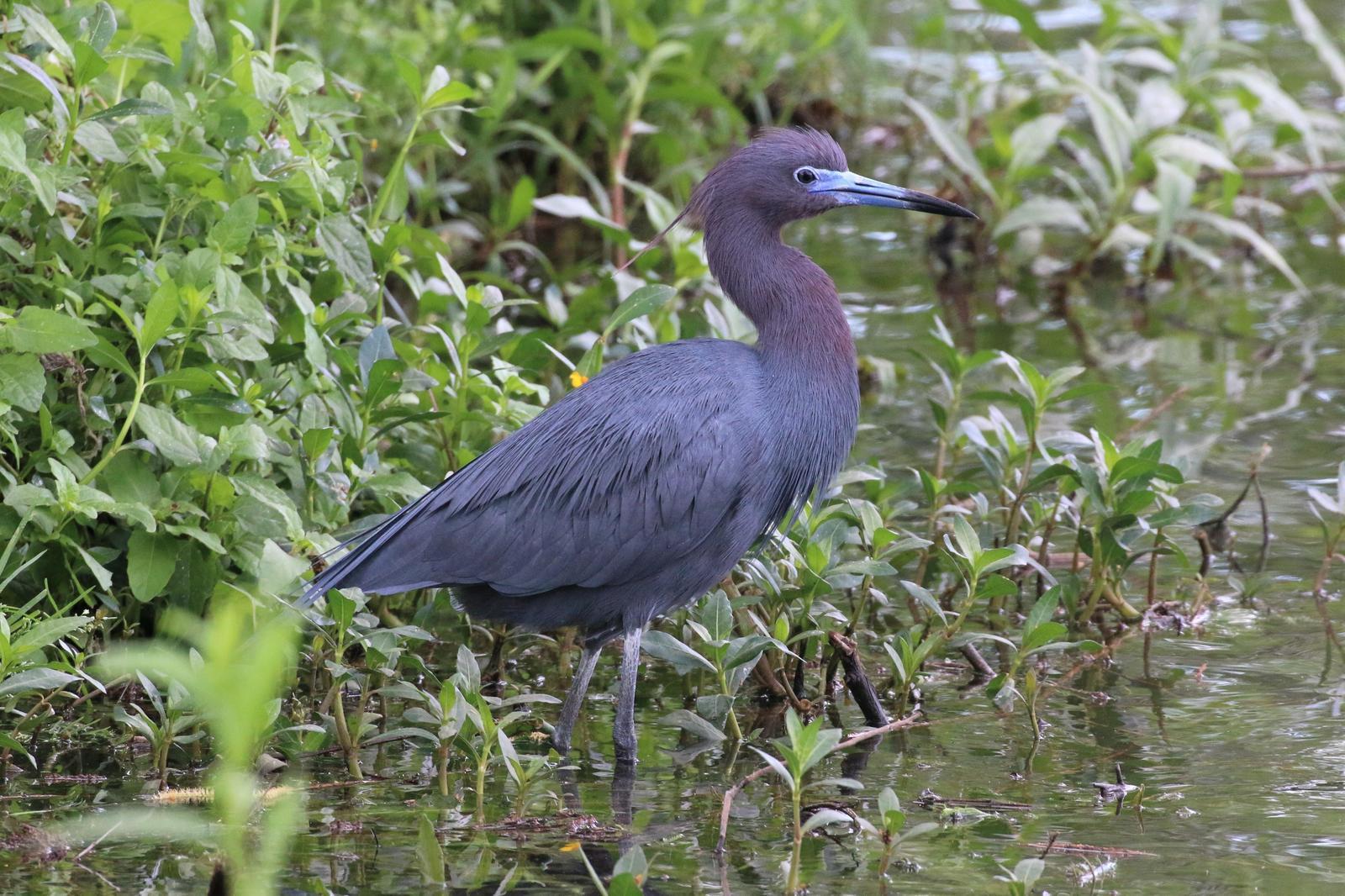 Little Blue Heron Photo by Richard Jeffers