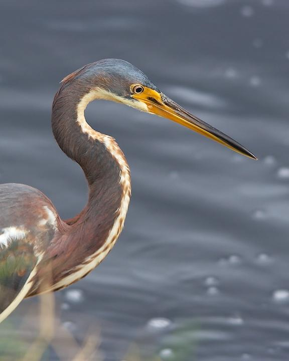 Tricolored Heron Photo by Denis Rivard
