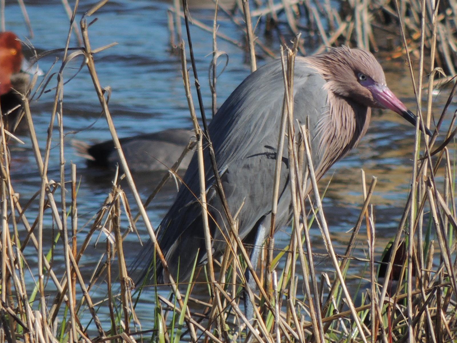 Reddish Egret Photo by Tony Heindel