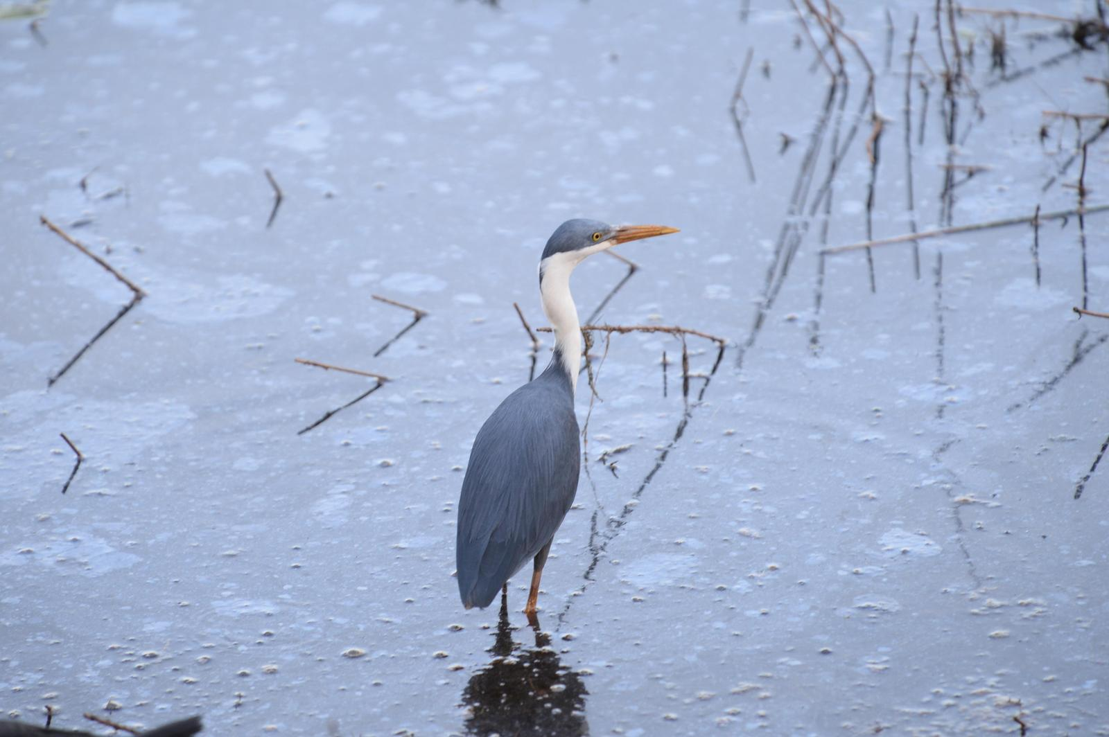Pied Heron Photo by marcel finlay