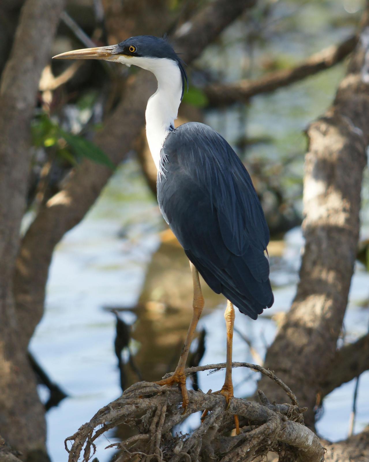 Pied Heron Photo by Steve Percival