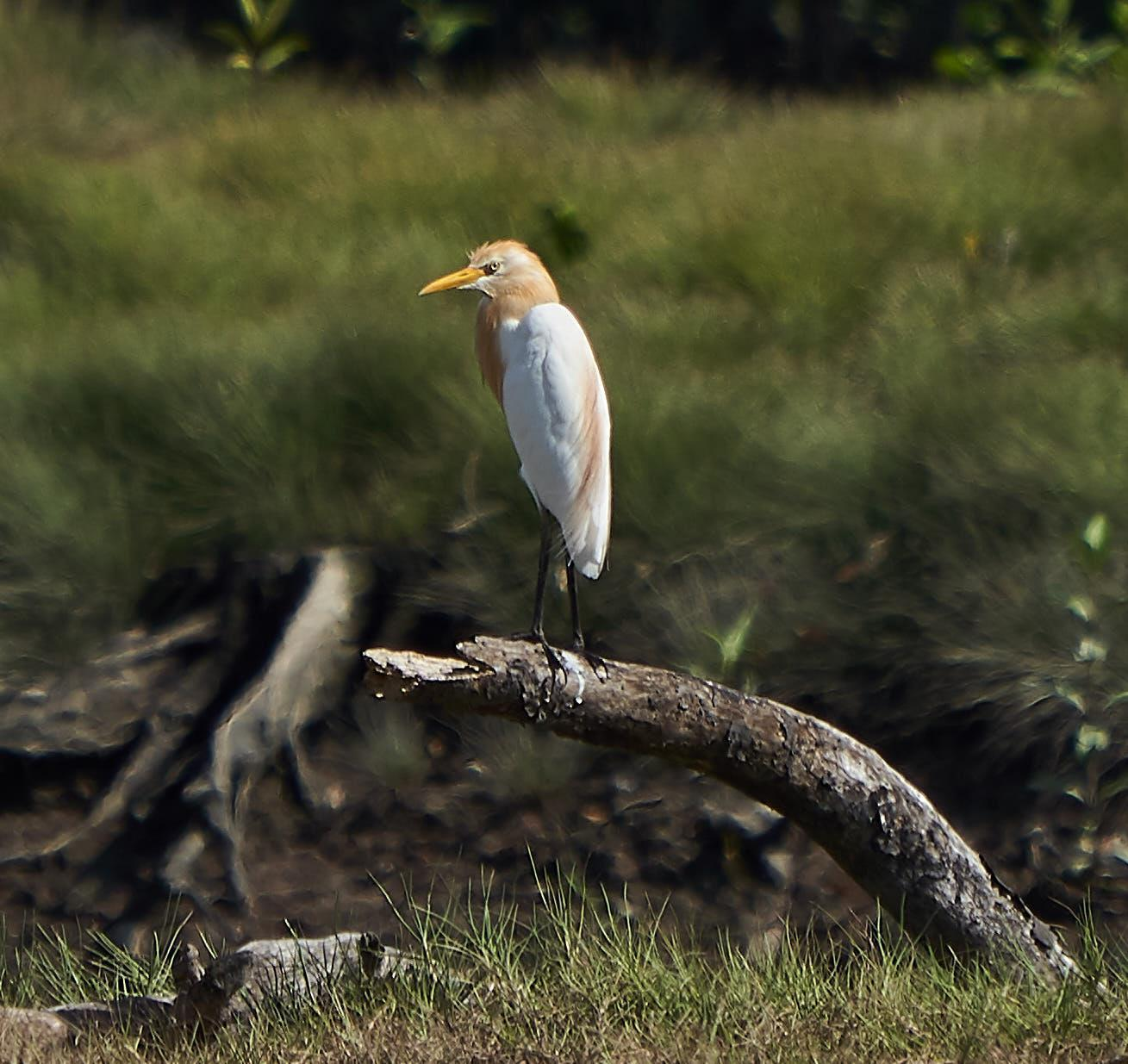 Cattle Egret Photo by Steven Cheong
