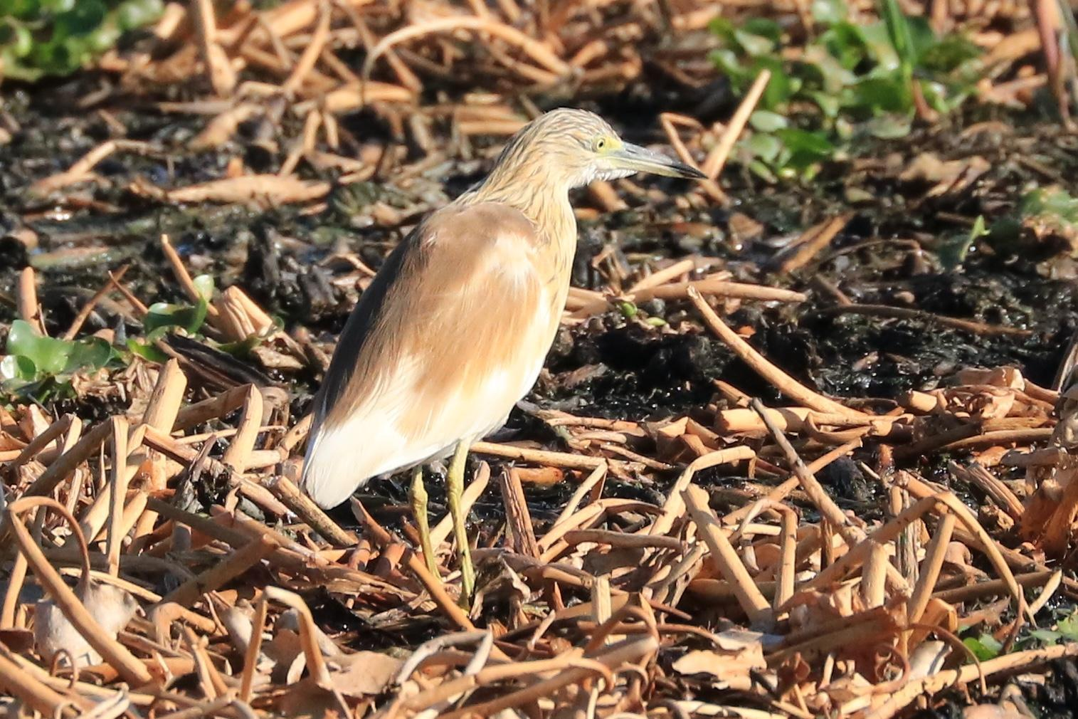 Squacco Heron Photo by Kathleen John