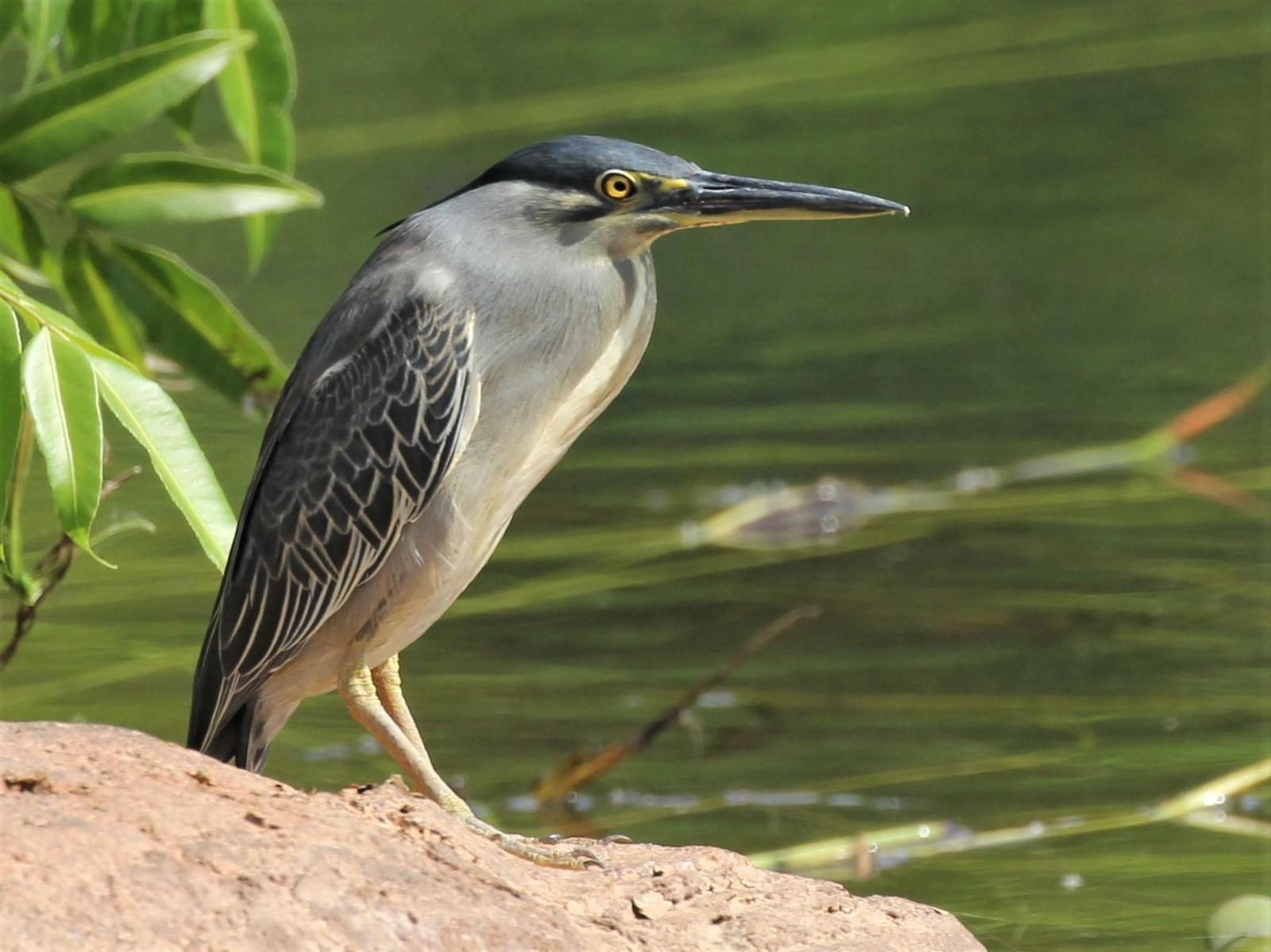 Striated Heron Photo by Steven Cheong