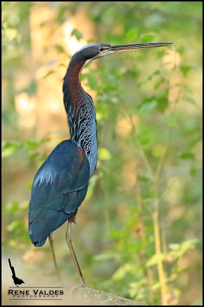 Agami Heron Photo by Rene Valdes
