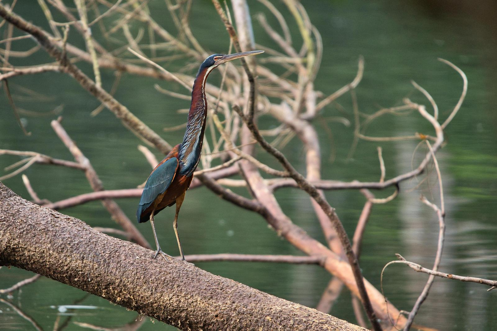 Agami Heron Photo by Didier Ryter
