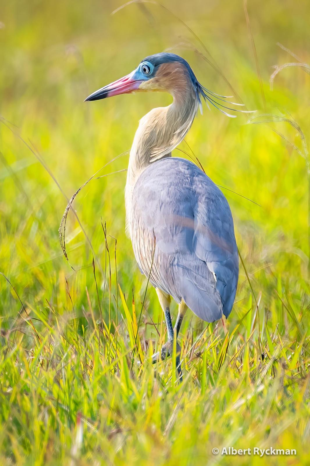 Whistling Heron Photo by Albert Ryckman
