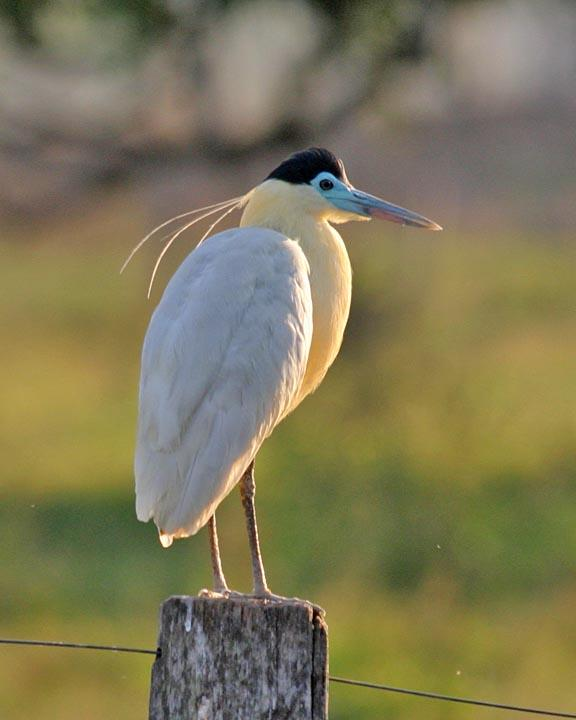 Capped Heron Photo by Peter Boesman