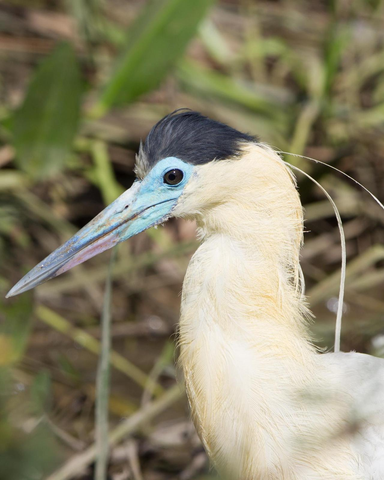 Capped Heron Photo by Kevin Berkoff