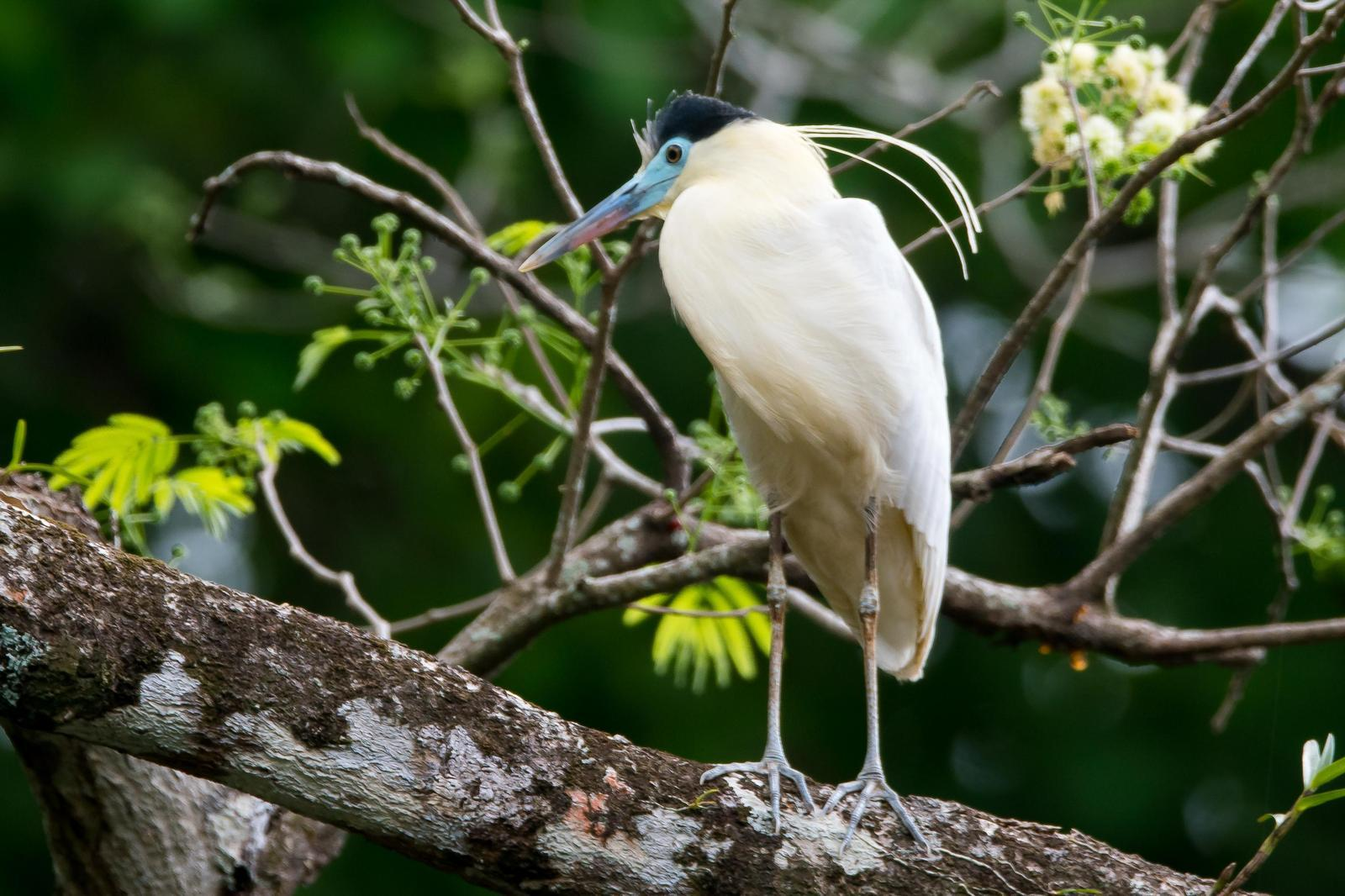 Capped Heron Photo by Gerald Hoekstra