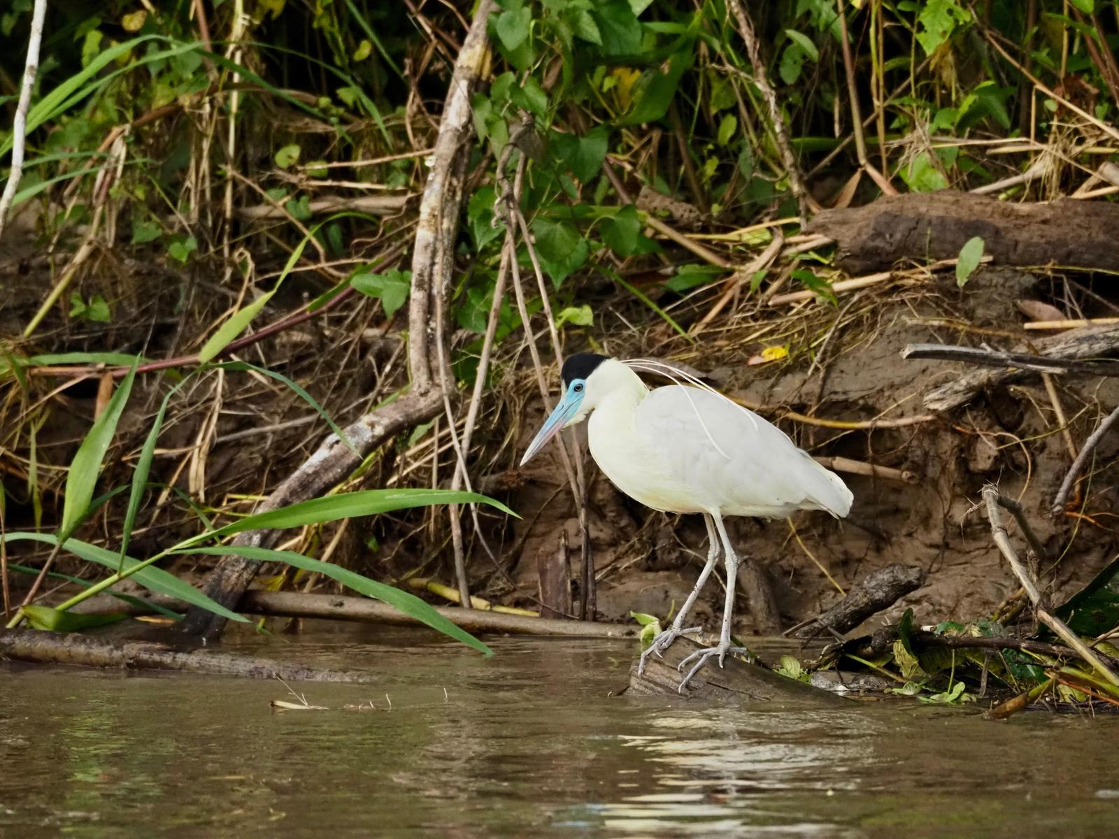 Capped Heron Photo by Susan Leverton
