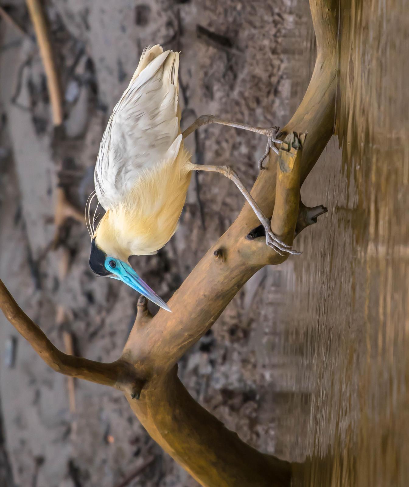 Capped Heron Photo by James Hoagland