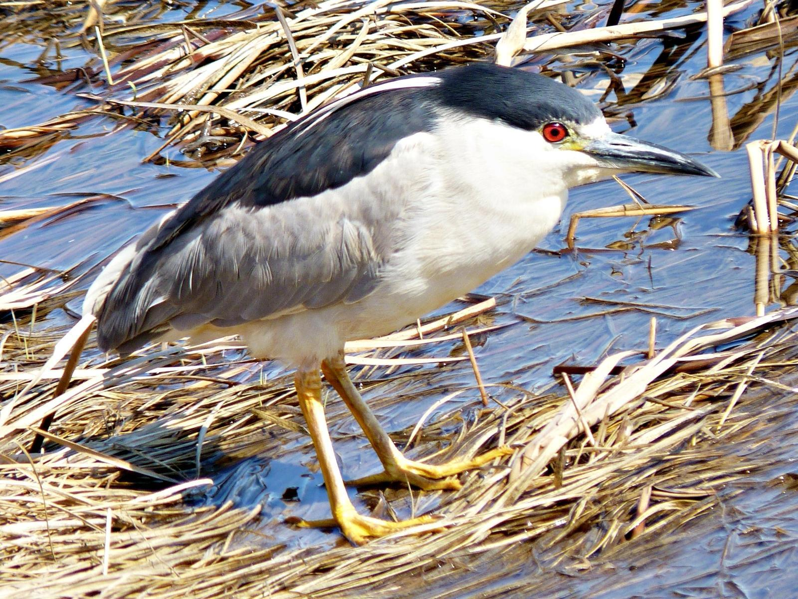 Black-crowned Night-Heron Photo by Bob Neugebauer