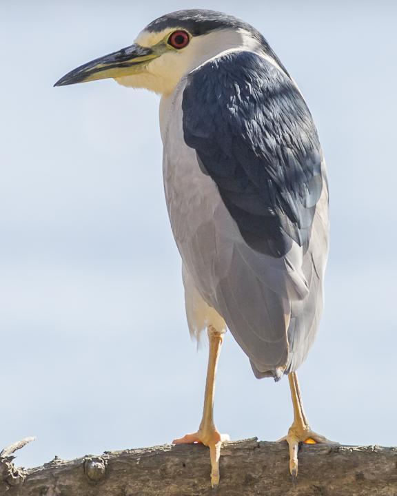 Black-crowned Night-Heron Photo by Anthony Gliozzo