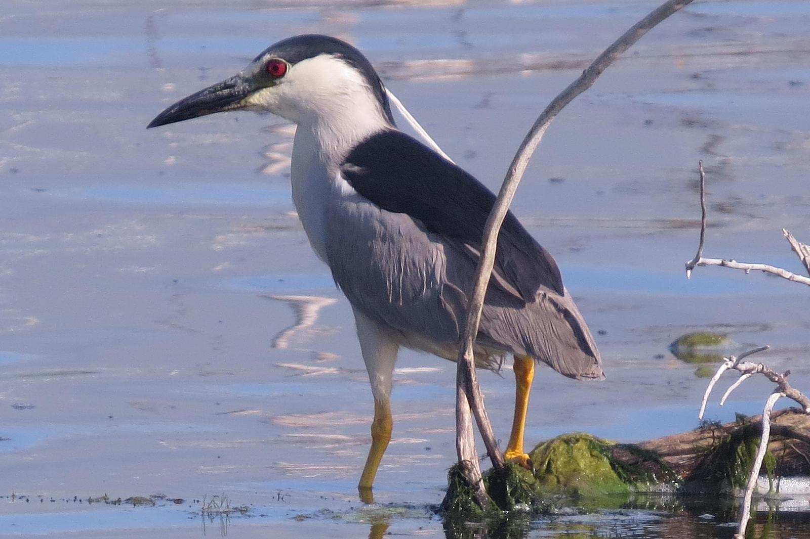 Black-crowned Night-Heron Photo by Enid Bachman