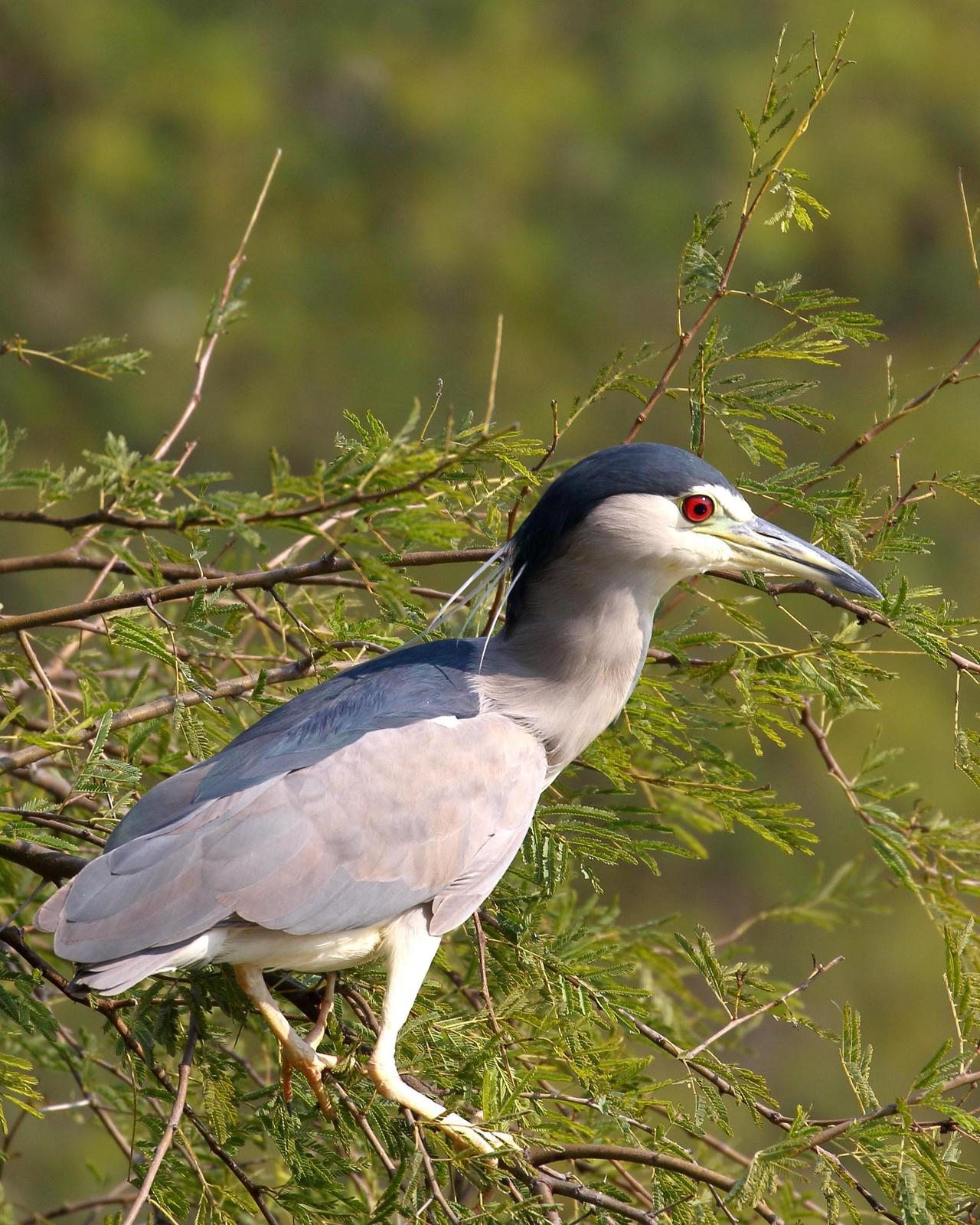Black-crowned Night-Heron Photo by Rahul Kaushik