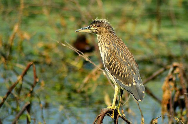 Black-crowned Night-Heron Photo by Mihir Joshi