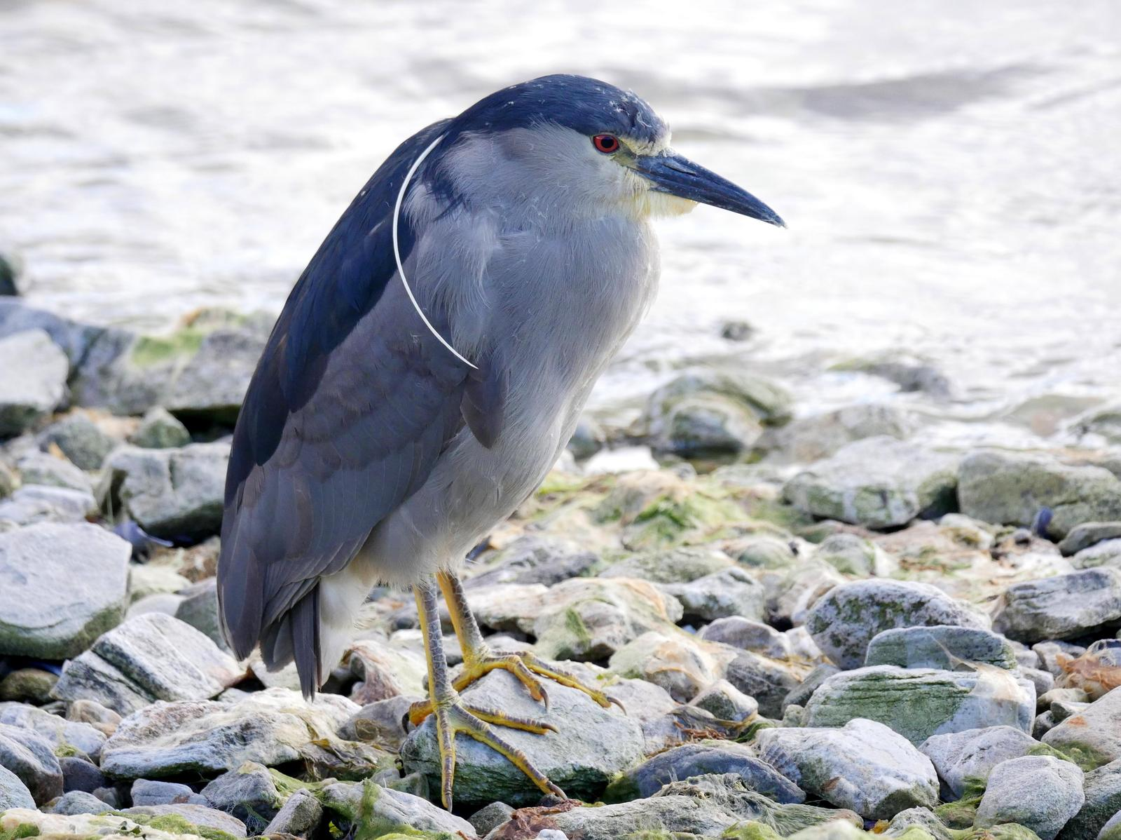 Black-crowned Night-Heron (Falklands) Photo by Peter Lowe