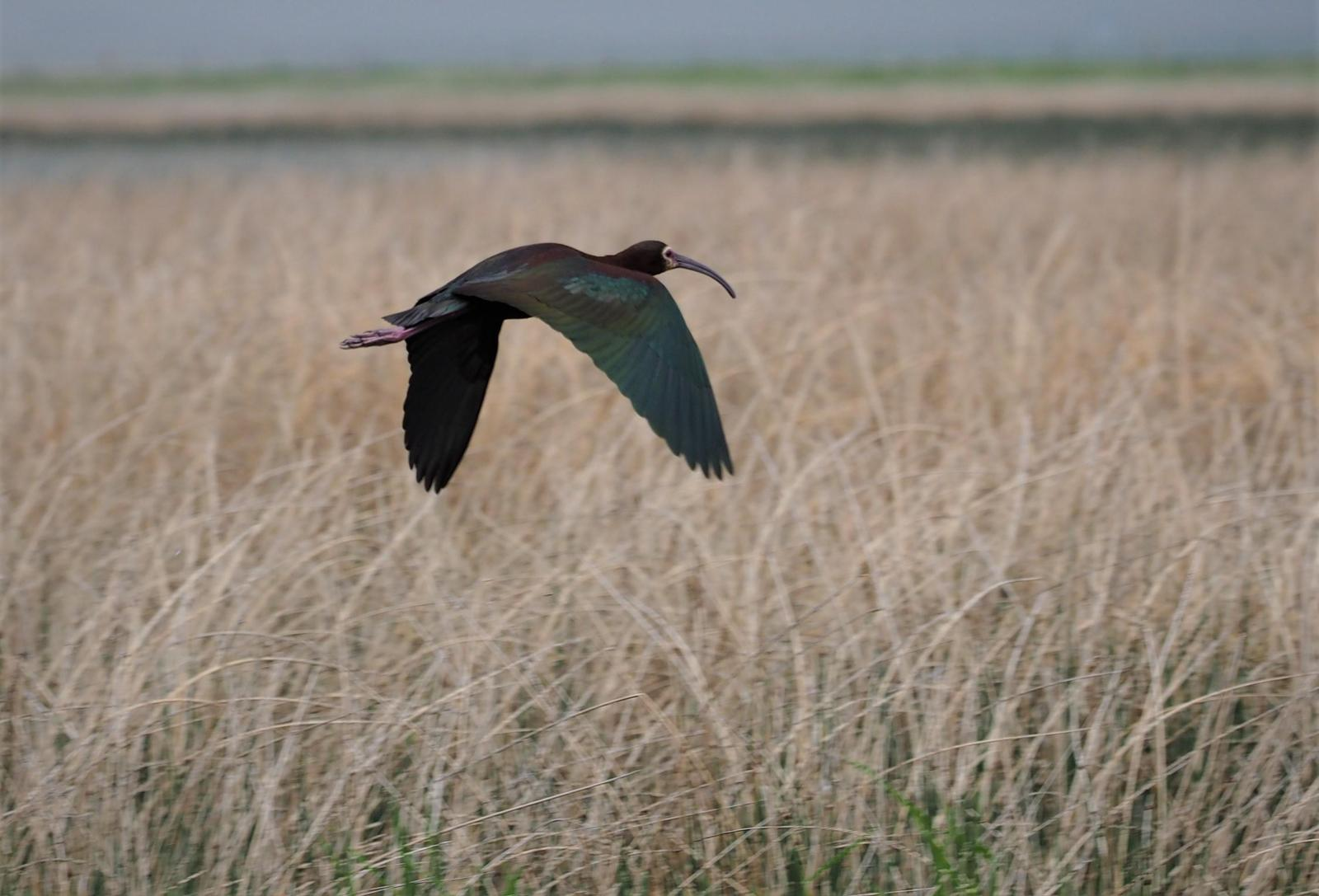 White-faced Ibis Photo by Colin Hill
