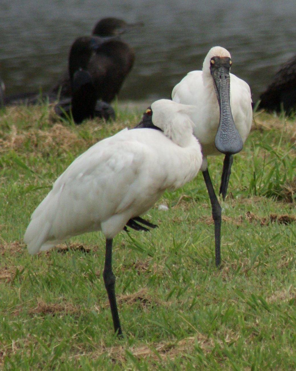 Royal Spoonbill Photo by Robin Oxley
