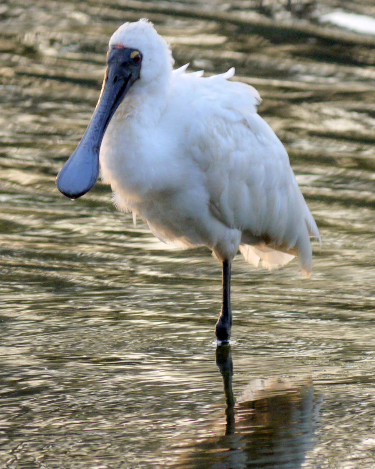 Royal Spoonbill Photo by Peter Lowe