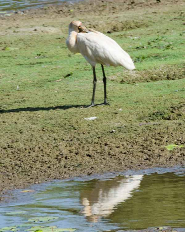 Royal Spoonbill Photo by Bob Hasenick