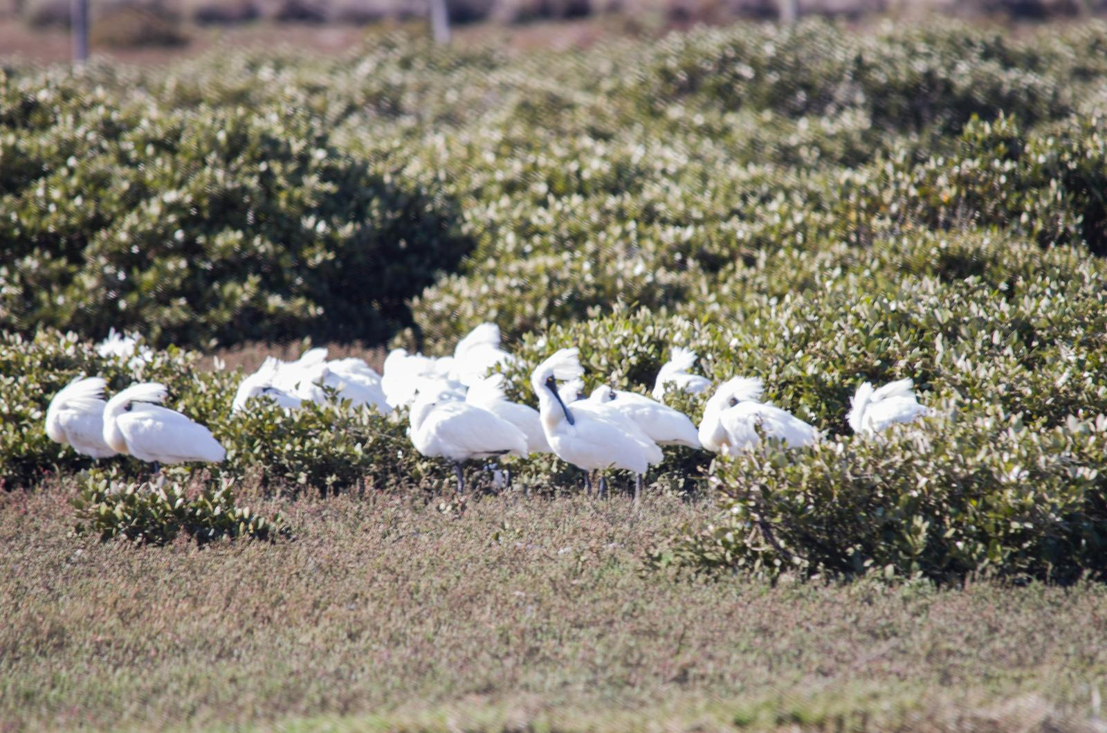 Royal Spoonbill Photo by Richard Lund