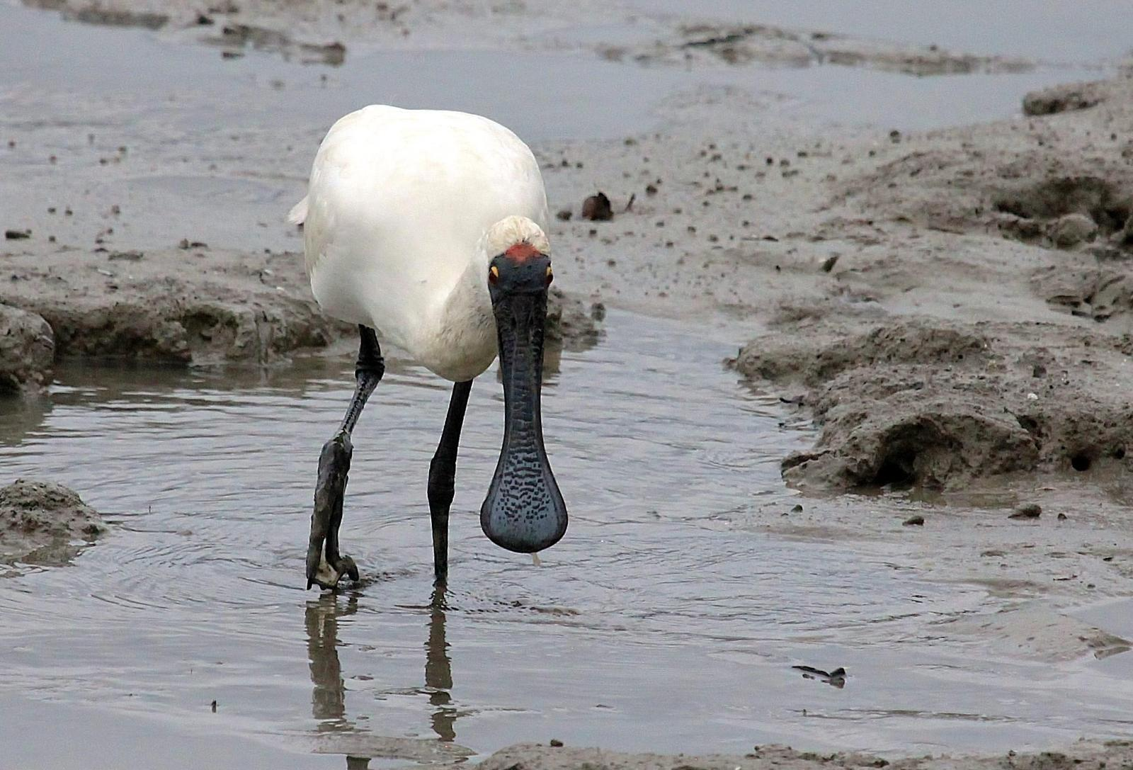 Royal Spoonbill Photo by Matthew McCluskey
