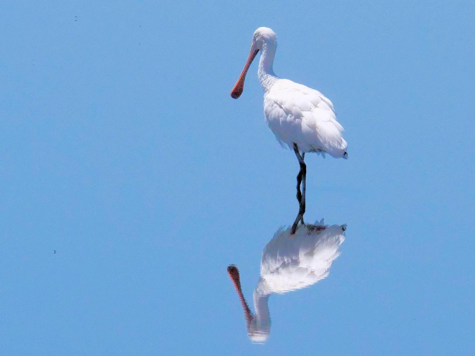 Yellow-billed Spoonbill Photo by Peter Lowe