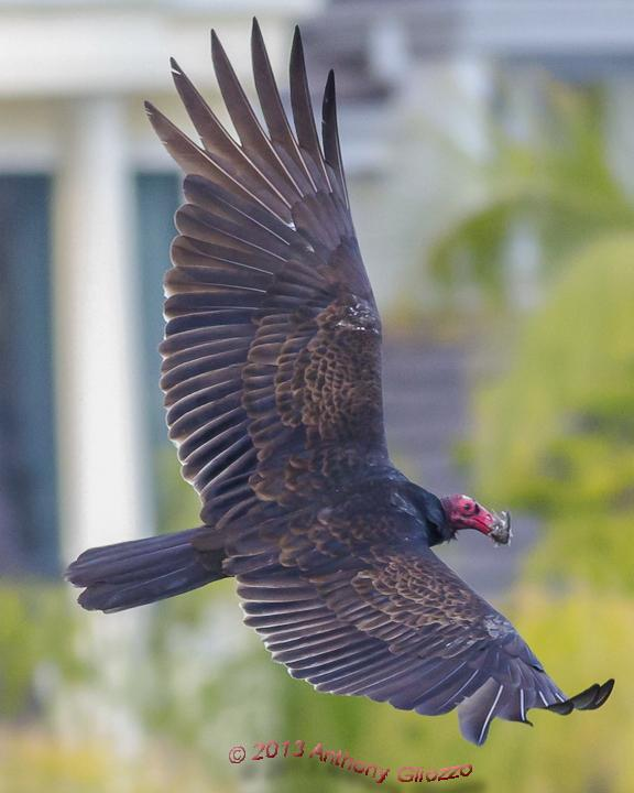 Turkey Vulture Photo by Anthony Gliozzo