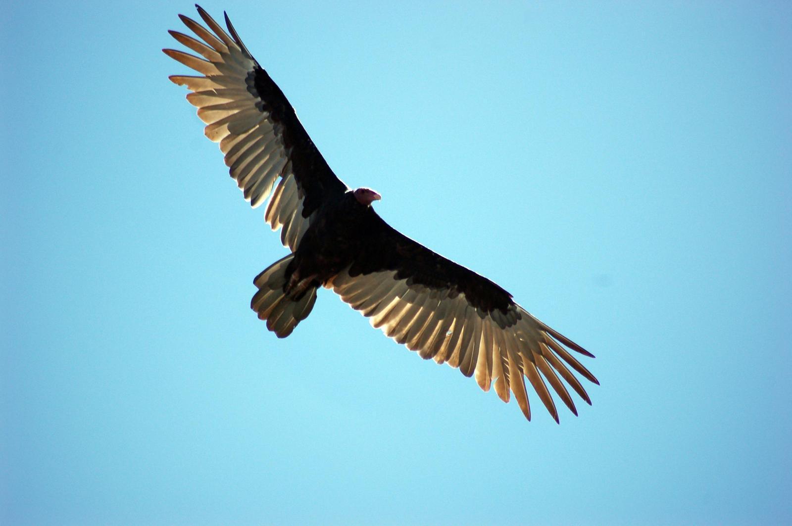 Turkey Vulture Photo by Carlos Silva-Quintas