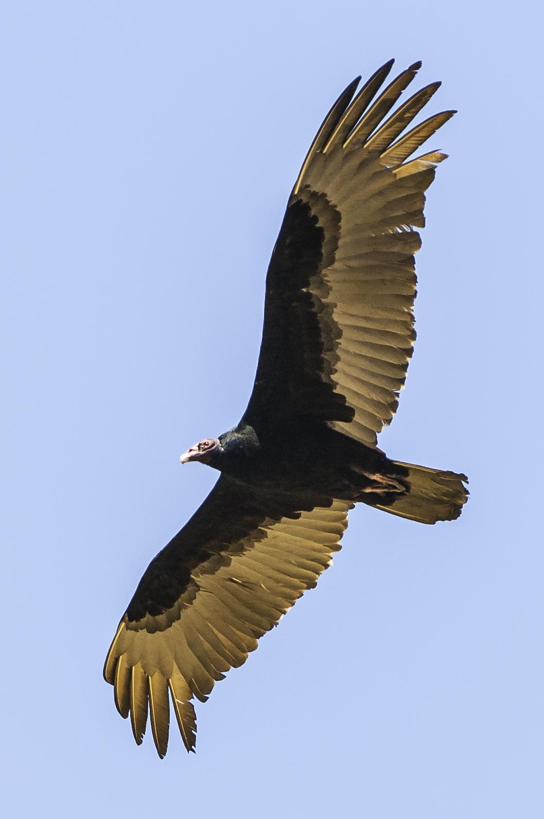 Turkey Vulture Photo by Mason Rose