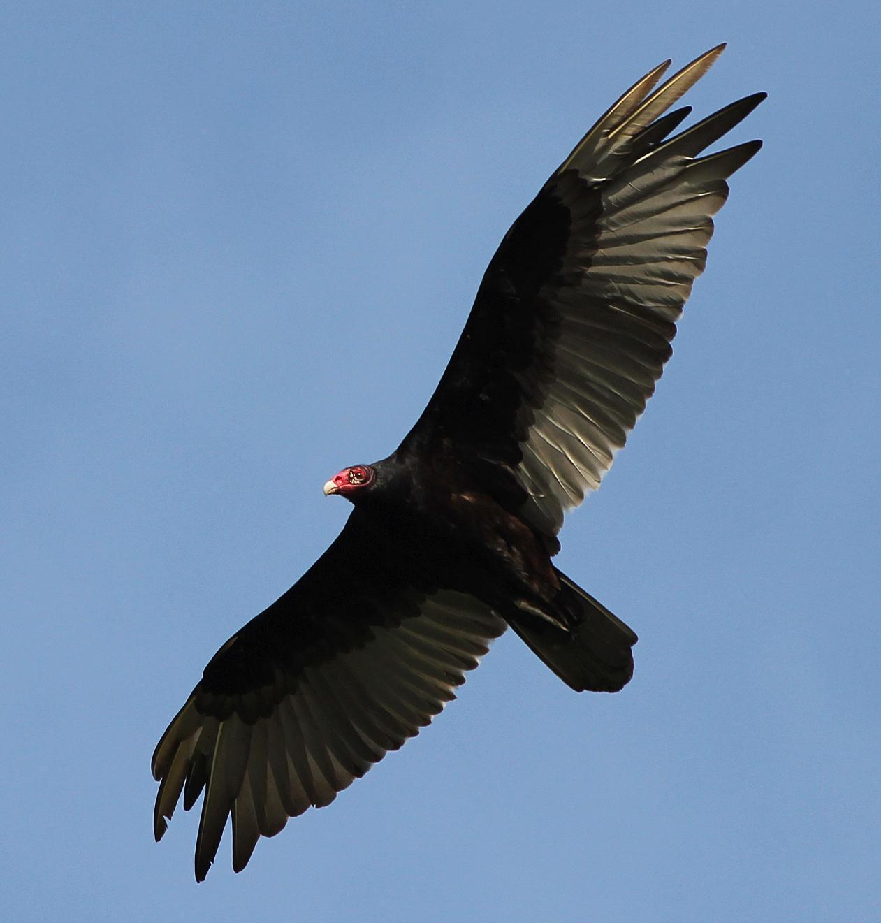 Turkey Vulture Photo by Tom Gannon