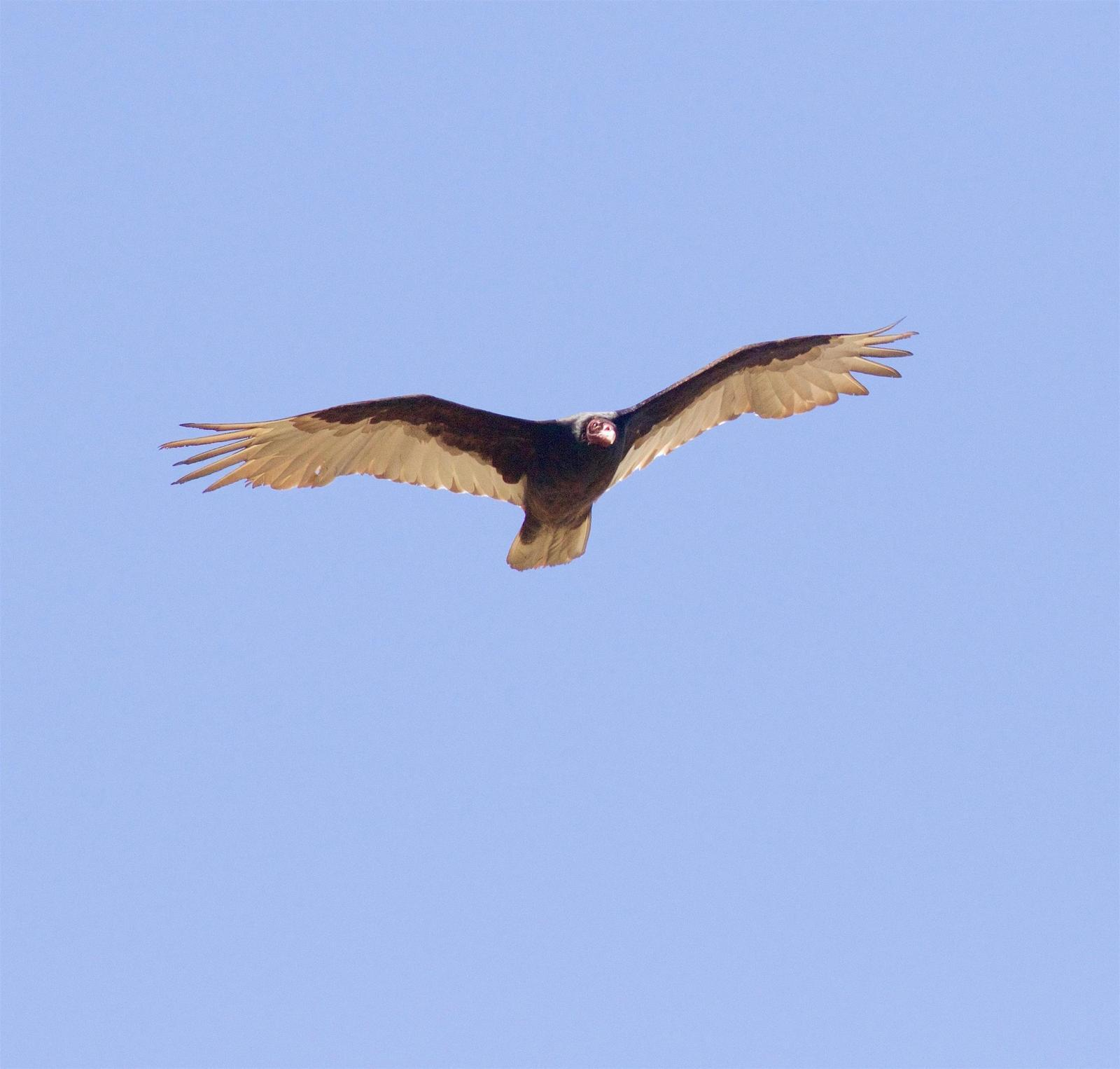 Turkey Vulture Photo by Kathryn Keith