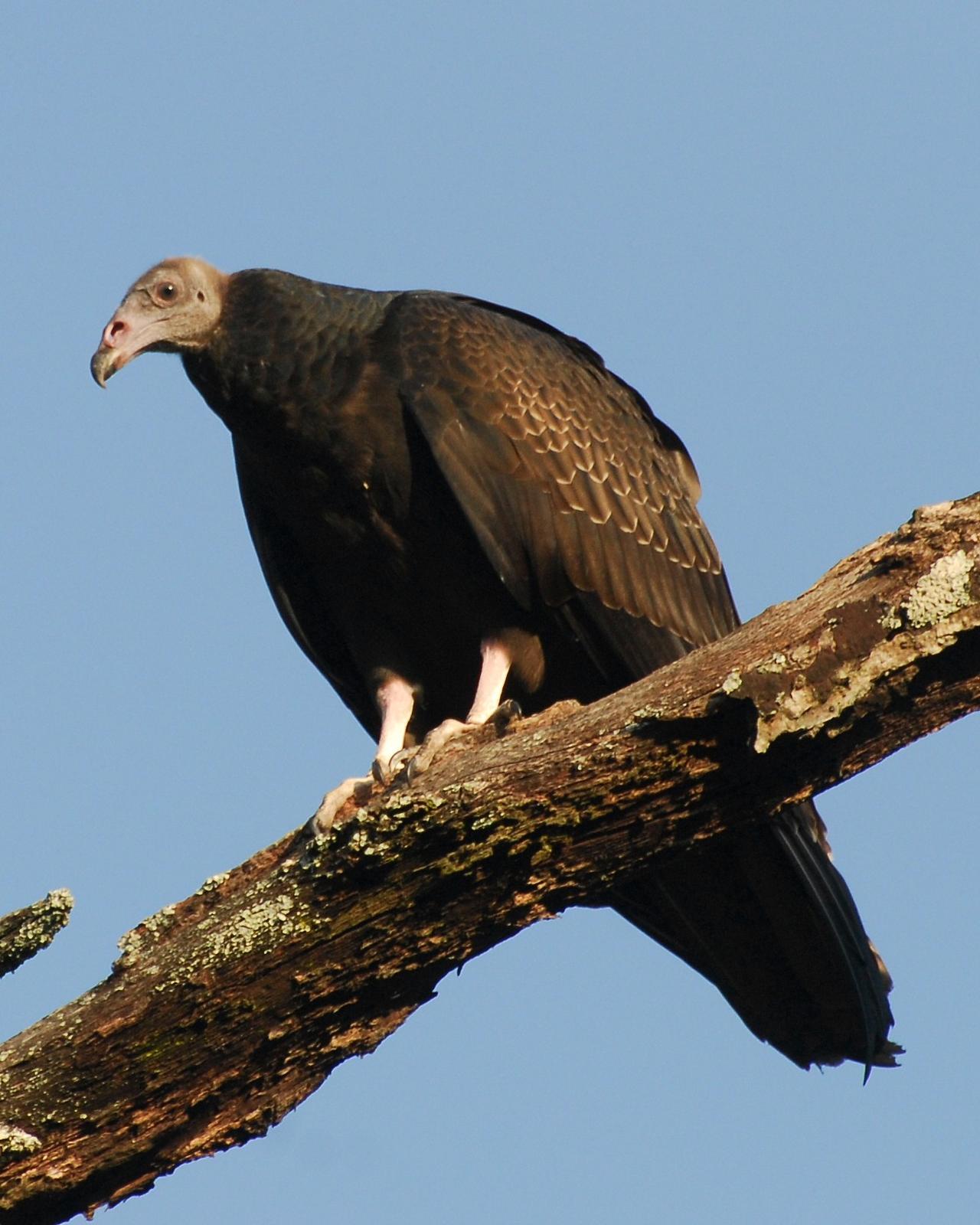 Turkey Vulture Photo by David Hollie
